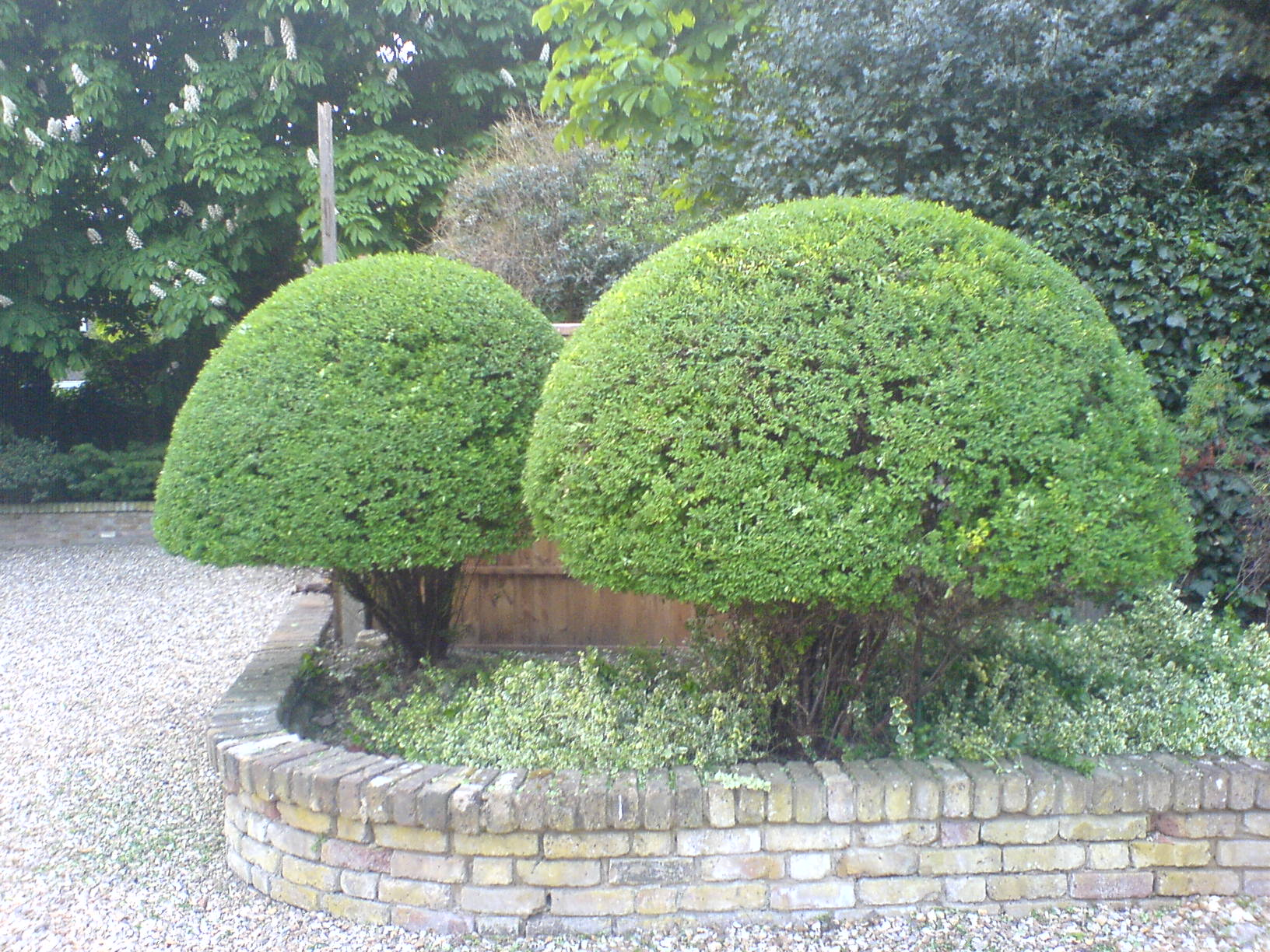 shaping shrubs/trees 4/topiary, Coombe