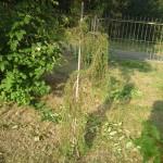 my juniperus